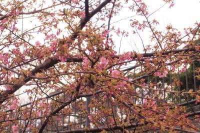 河津桜が咲き始めていました。