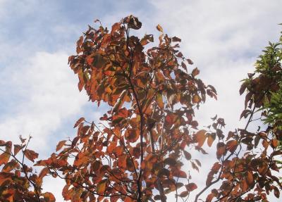 ハナミズキの紅葉