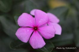 お庭の花その1_1_1