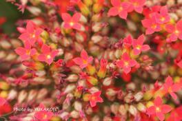 お庭の花その2_1_1