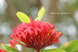 お庭の花その4_1_1