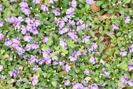 お庭の花その5_1_1