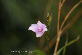 川平ファームのお花その2-2_1_1