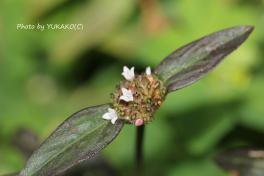 川平ファームのお花その3_1_1
