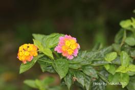 川平ファームのお花その5_1_1
