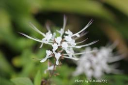 川平ファームのお花ねこのひげ_1_1