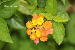 川平ファームのお花七変化オレンジと黄色_1_1