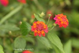 川平ファームのお花七変化オレンジと赤_1