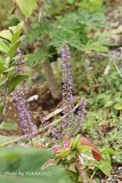 お庭の花その8_1_1