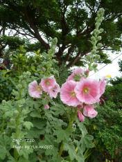 お庭の花その9コンデジ_1_1