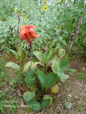 お庭の花その10_1_1