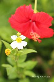 川平ファームのお花その4-1_1_1