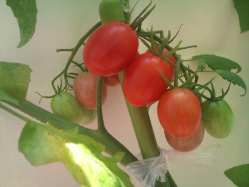 ミニトマト③