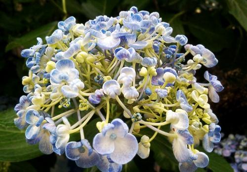 うず紫陽花