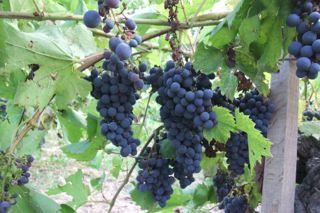 ワイン用の葡萄