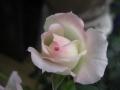 ミニバラ・フォーエバーローズ ホワイトピンク