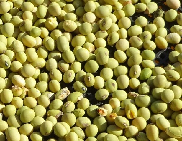 一次選別後の大豆