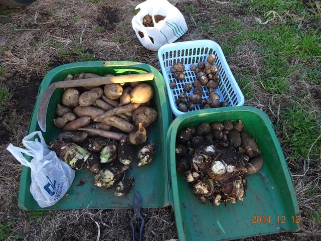 今日の収穫:芋類