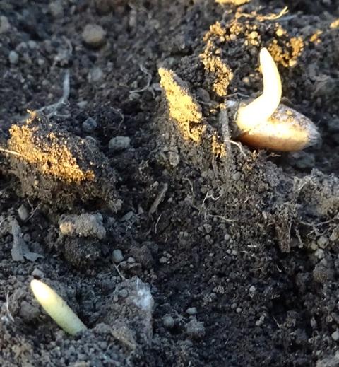 発芽してきた麦