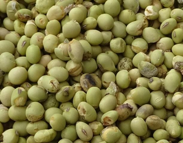 二次選別ではじいた虫食い大豆