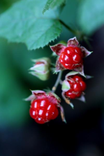 ミヤマフユイチゴ