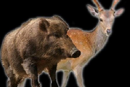 イノシシと鹿