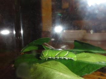 アゲハの幼虫
