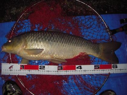 中川 鯉 65cm