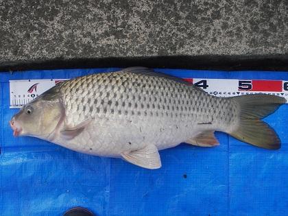 中川 鯉 60cm