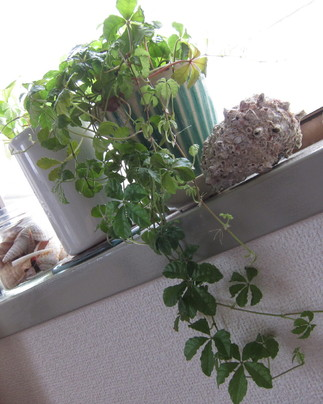 茅ヶ崎 バオバブ 観葉植物