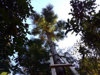 枝打ち用梯子