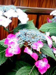 額紫陽花3