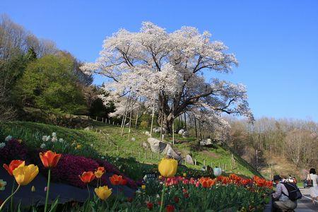 越代の桜 古殿町