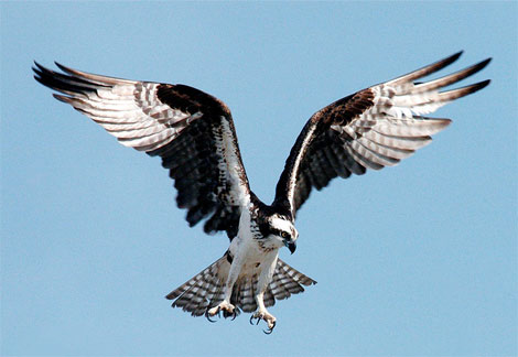 osprey-diving.jpg