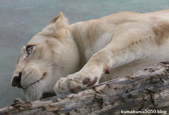 ホワイトライオン_74