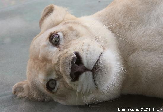 ホワイトライオン_80