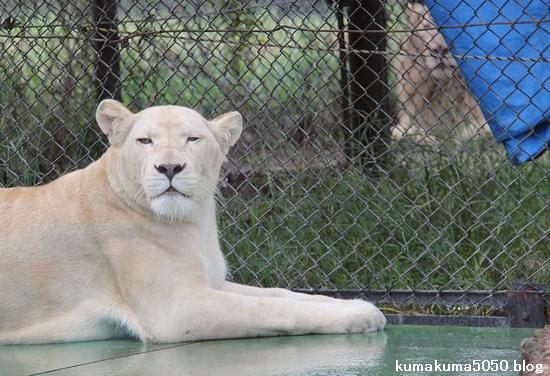 ホワイトライオン_79