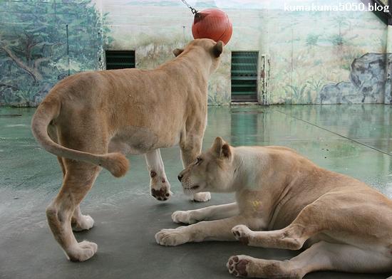 ホワイトライオン_90