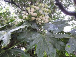 ヤツデの葉っぱと花