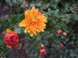 黄色い小菊が咲いていた。愛甲の道端で。