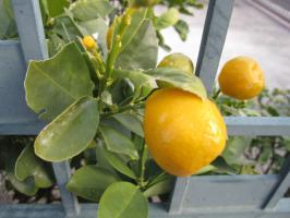 門扉から顔を出す柑橘
