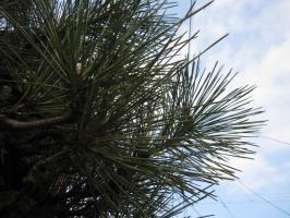 青い空、緑の松