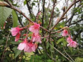 桜、フェンスの脇