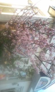 ピンクの桜in川本