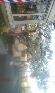 白い桜in川本