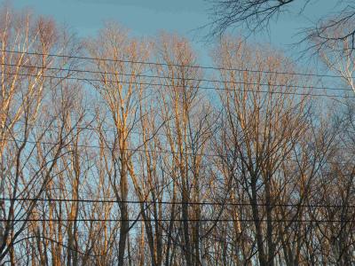 白樺林冬の夕映え