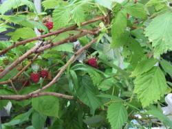 rasberry1.jpg