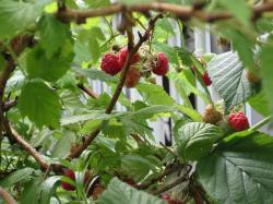 rasberry2.jpg