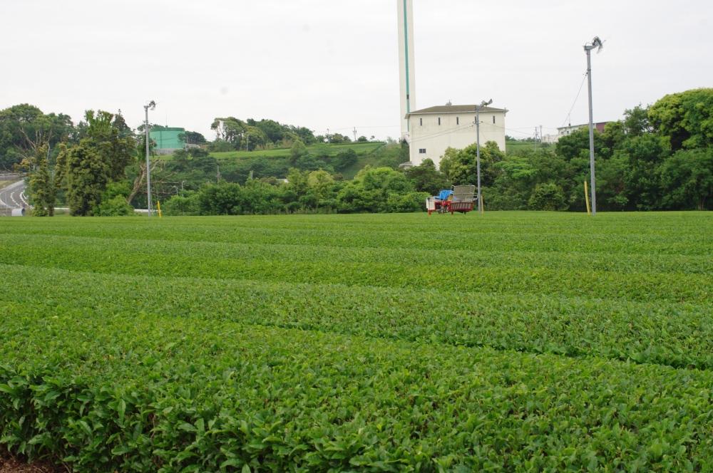 521_3茶畑