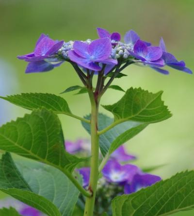 12_617がく紫陽花